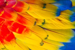 The wing feathers of the Scarlet macaw (Ara macao)​ bird are colorful and beautiful. Large parrot bird feathers The color of the wing feathers. Red Yellow Blue Feather
