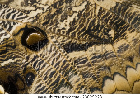 The Wing of an Owl Butterfly, macro at 1:1