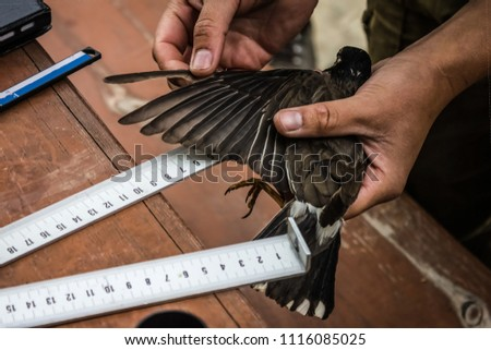 The wing of the bird was measured. Carrying out of scientific research, studying of birds, work of ornithologist. Measuring the feathers of a bird. Tanned hands, wooden table, measuring instruments.