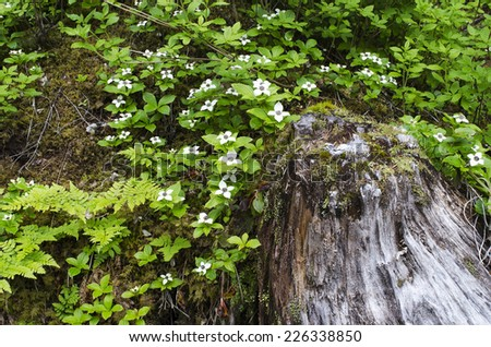 The Winner Creek Trail in Girdwood Alaska winds through a fabulous sub-tropical rain forest.  Dwarf dogwood cluster next to a spruce stump