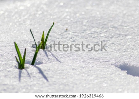 The winter ends and the springtime shows fresh green and snow covered flowers after snowfall with melting ice and melting snow in the spring sunshine to welcome the revival of life and nature