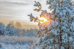 The winter sun shines through the snow-covered pine branches. Winter nature. Trees covered with snow are illuminated by the sun. Horizontal photo. Beautiful cold nature of Russia