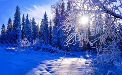 The winter sun shines through the snowy branches of trees. WInter snow sunshine. Winter forest sunshine snow. Winter sunshine in snowy forest