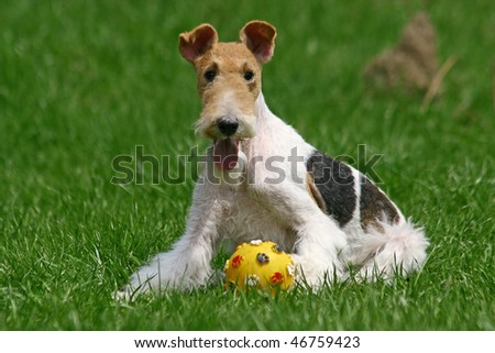 The Wire Fox Terrier - stock photo