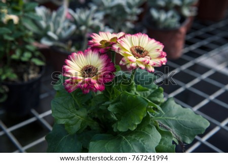 The wire frame of the African chrysanthemum flower #767241994