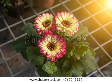 The wire frame of the African chrysanthemum flower #767241997
