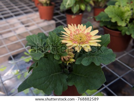 The wire frame of the African chrysanthemum flower #768882589