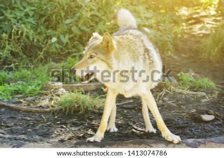 The wolf, also known as the gray wolf or timber wolf #1413074786