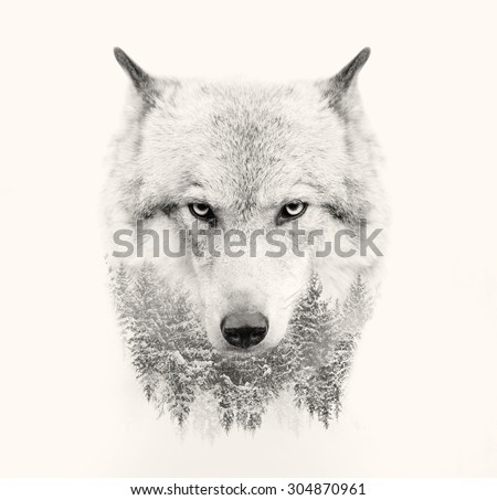 the wolf face on white...