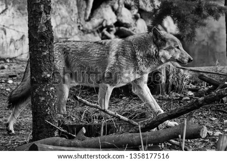 Stock Photo The wolf goes through the forest in black and white, cave paintings. gray wolf in the woods in early spring. Wild nature.