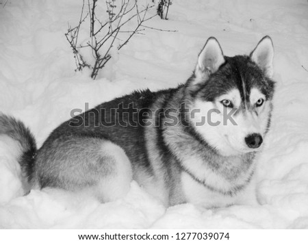 Stock Photo The wolf lies on the snow in the wild. Macro photography/Black and white photo