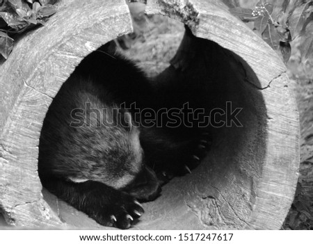 """The wolverine also spelled wolverene), Gulo gulo (Gulo is Latin for """"glutton""""), also referred to as the glutton, carcajou, skunk bear, or quickhatch (from East Cree, kwiihkwahaacheew),"""