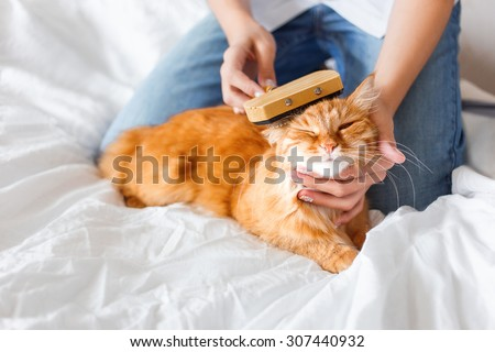The woman combs a dozing cat\'s fur. Ginger cat\'s head lies on woman hand. The fluffy pet comfortably settled to sleep. Cute cozy background, morning bedtime at home.