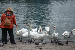 The woman feeding swans and pigeons near the water of the Baltic sea. Wildlife birds background
