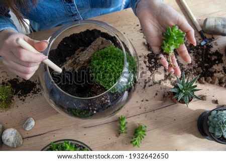 The woman is transplanting succulent in a glass vase on the table. Florarium with green succulents.Close-up of a succulent arrangement in a glass vase (terrarium).The girl is creating a composition.
