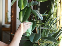 The woman wipes the dust off the leaves with a damp soft cloth. Correct care of indoor plant rubber tree. Ficus elastic. Floriculture and plant growing.