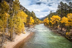 The wonderful Animas River, near Durango, is running through golden aspens in the Weminuche Wilderness area before reaching the city of Durango.