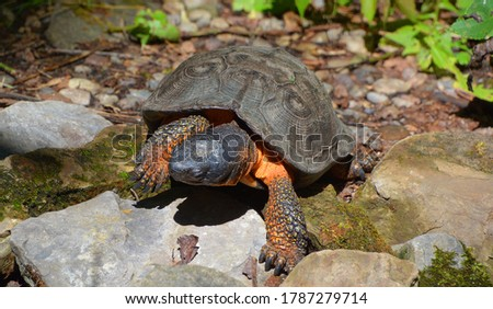 The wood turtle is a species of turtle endemic to North America. It is in the genus Glyptemys, a genus which contains only one other species of turtle: the bog turtle