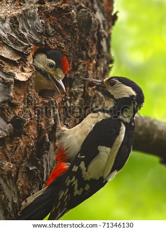 The woodpecker gives food to little 2.