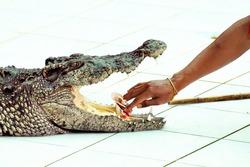 The world's largest crocodile farm in Koh Samui in Thailand