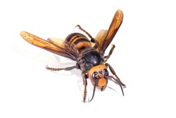 The world's largest hornet, Asian giant hornet known as horrible
