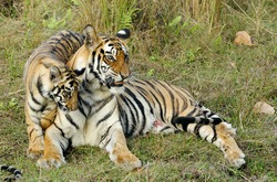 The wounded tigress becomes angry about the annoying kid. India. Bandhavgarh National Park. Tigress with a kitten on a grass.
