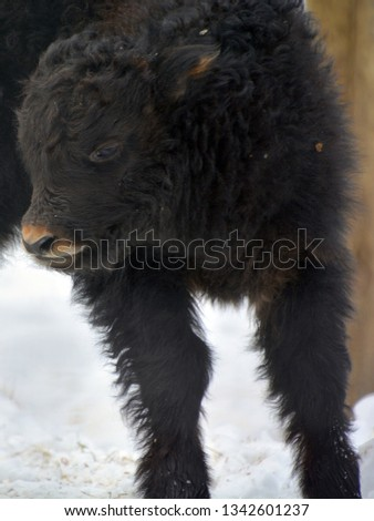 The yak calf is a long-haired bovid found throughout the Himalaya region of southern Central Asia, the Tibetan Plateau and as far north as Mongolia and Russia. #1342601237