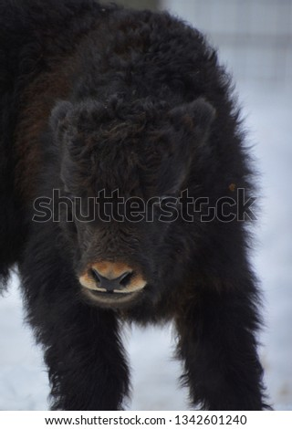 The yak calf is a long-haired bovid found throughout the Himalaya region of southern Central Asia, the Tibetan Plateau and as far north as Mongolia and Russia. #1342601240