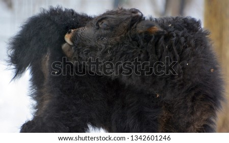 The yak calf is a long-haired bovid found throughout the Himalaya region of southern Central Asia, the Tibetan Plateau and as far north as Mongolia and Russia. #1342601246