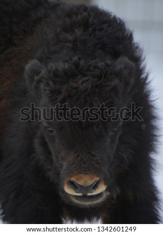The yak calf is a long-haired bovid found throughout the Himalaya region of southern Central Asia, the Tibetan Plateau and as far north as Mongolia and Russia. #1342601249