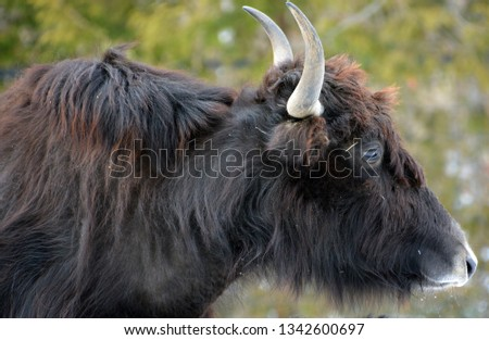 The yak is a long-haired bovid found throughout the Himalaya region of southern Central Asia, the Tibetan Plateau and as far north as Mongolia and Russia. #1342600697