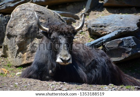 The yak is a long-haired bovid found throughout the Himalaya region of southern Central Asia, the Tibetan Plateau and as far north as Mongolia and Russia. #1353188519