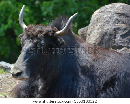 The yak is a long-haired bovid found throughout the Himalaya region of southern Central Asia, the Tibetan Plateau and as far north as Mongolia and Russia. #1353188522