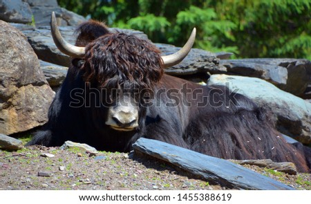 The yak is a long-haired bovid found throughout the Himalaya region of southern Central Asia, the Tibetan Plateau and as far north as Mongolia and Russia. #1455388619