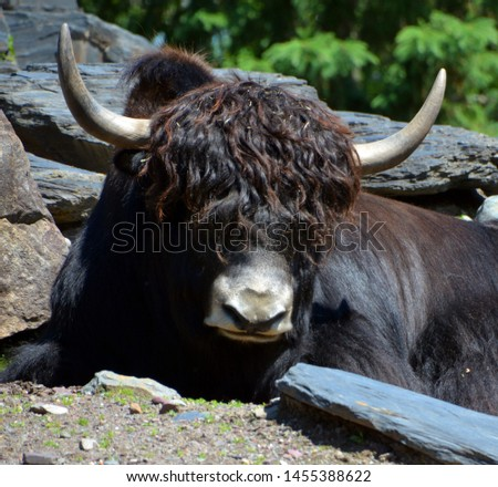 The yak is a long-haired bovid found throughout the Himalaya region of southern Central Asia, the Tibetan Plateau and as far north as Mongolia and Russia. #1455388622