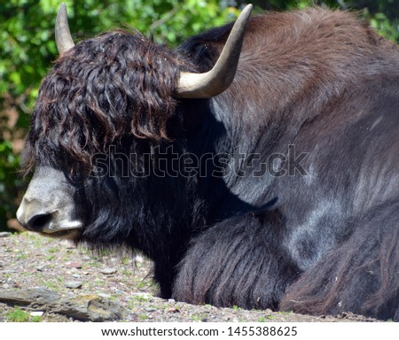The yak is a long-haired bovid found throughout the Himalaya region of southern Central Asia, the Tibetan Plateau and as far north as Mongolia and Russia. #1455388625