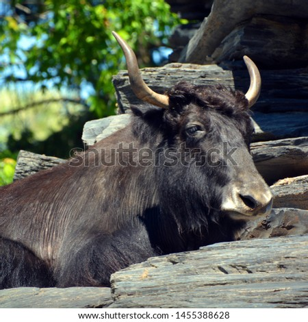 The yak is a long-haired bovid found throughout the Himalaya region of southern Central Asia, the Tibetan Plateau and as far north as Mongolia and Russia. #1455388628