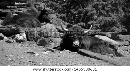 The yak is a long-haired bovid found throughout the Himalaya region of southern Central Asia, the Tibetan Plateau and as far north as Mongolia and Russia. #1455388631