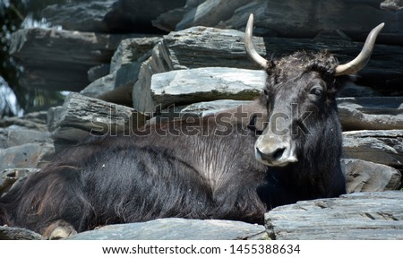The yak is a long-haired bovid found throughout the Himalaya region of southern Central Asia, the Tibetan Plateau and as far north as Mongolia and Russia. #1455388634