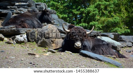 The yak is a long-haired bovid found throughout the Himalaya region of southern Central Asia, the Tibetan Plateau and as far north as Mongolia and Russia. #1455388637