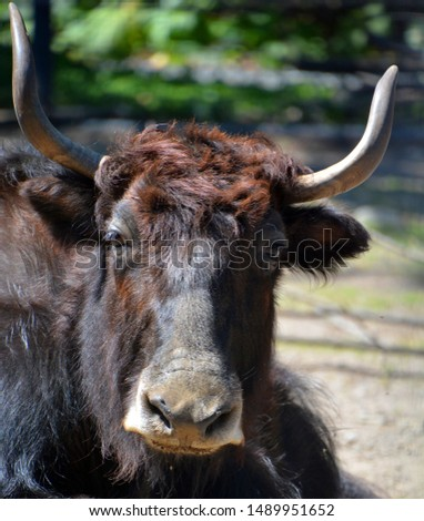 The yak is a long-haired bovid found throughout the Himalaya region of southern Central Asia, the Tibetan Plateau and as far north as Mongolia and Russia. #1489951652