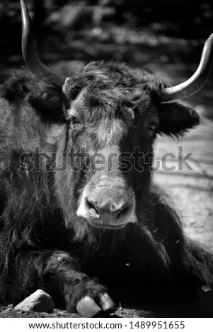 The yak is a long-haired bovid found throughout the Himalaya region of southern Central Asia, the Tibetan Plateau and as far north as Mongolia and Russia. #1489951655