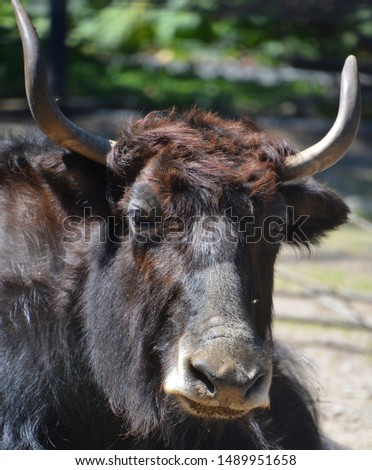 The yak is a long-haired bovid found throughout the Himalaya region of southern Central Asia, the Tibetan Plateau and as far north as Mongolia and Russia. #1489951658