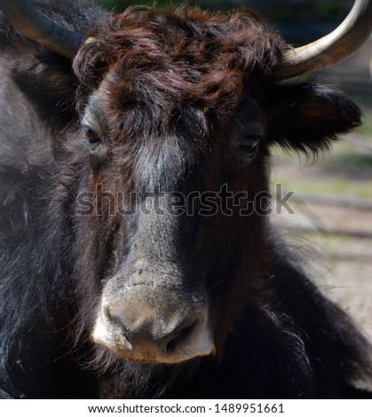 The yak is a long-haired bovid found throughout the Himalaya region of southern Central Asia, the Tibetan Plateau and as far north as Mongolia and Russia. #1489951661