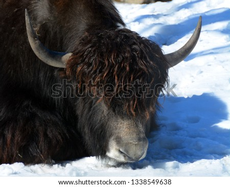 The yak is a long-haired bovid found throughout the Himalayan region of south Central Asia, the Tibetan Plateau and as far north as Mongolia and Russia.  #1338549638