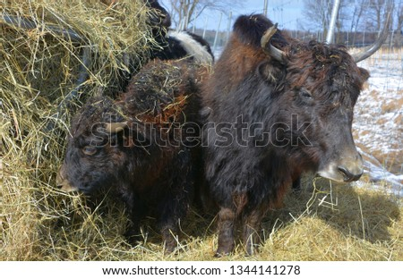 The yak is a long-haired bovid found throughout the Himalayan region of south Central Asia, the Tibetan Plateau and as far north as Mongolia and Russia.  #1344141278