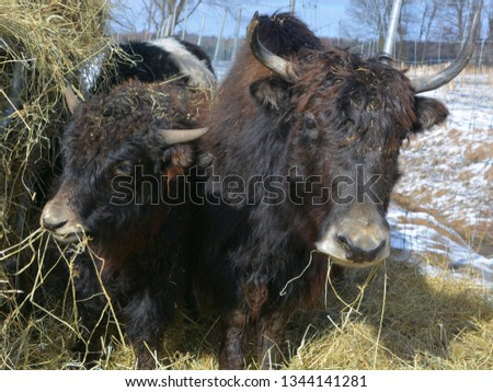 The yak is a long-haired bovid found throughout the Himalayan region of south Central Asia, the Tibetan Plateau and as far north as Mongolia and Russia.  #1344141281