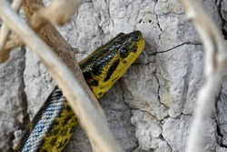 The yellow anaconda is a boa species endemic to southern South America. It is one of the largest snakes in the world but smaller than the green anaconda. It kills its prey by constriction.