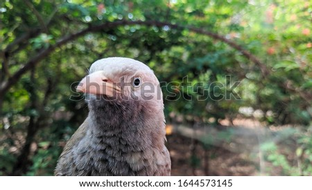 The yellow-billed babbler is a member of the Leiothrichidae family endemic to southern India and Sri Lanka. The yellow-billed babbler is a common resident breeding bird in Sri Lanka and southern India