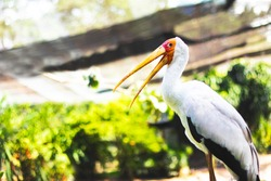 The yellow-billed stork (Mycteria ibis) is also sometimes called the wood stork or wood stork against the backdrop of nature.